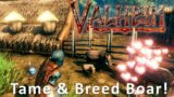 Tame & Breed Boar in Valheim!
